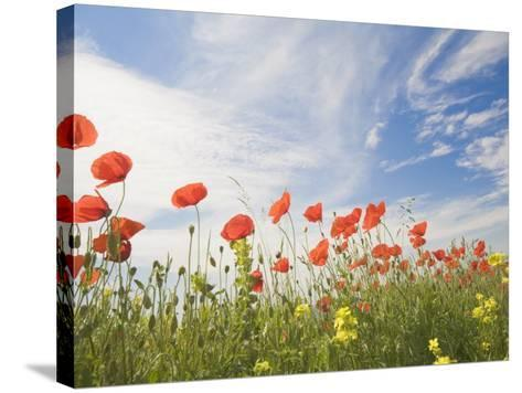 Poppies, Highland of Castelluccio Di Norcia, Norcia, Umbria, Italy, Europe-Angelo Cavalli-Stretched Canvas Print