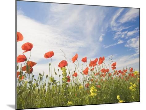 Poppies, Highland of Castelluccio Di Norcia, Norcia, Umbria, Italy, Europe-Angelo Cavalli-Mounted Photographic Print
