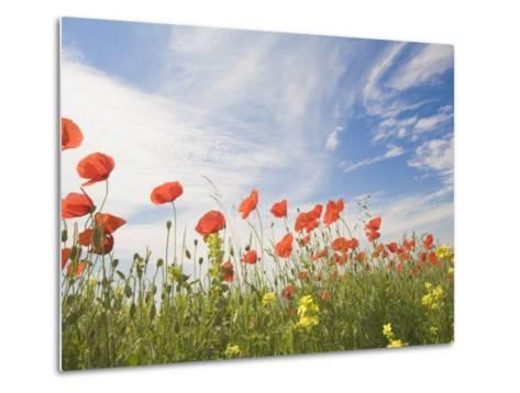Poppies, Highland of Castelluccio Di Norcia, Norcia, Umbria, Italy, Europe-Angelo Cavalli-Metal Print