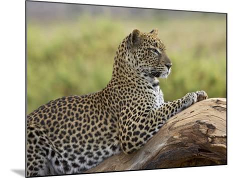 Leopard (Panthera Pardus), Samburu National Reserve, Kenya, East Africa, Africa-James Hager-Mounted Photographic Print