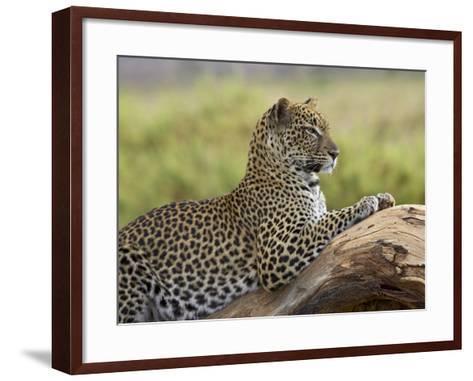Leopard (Panthera Pardus), Samburu National Reserve, Kenya, East Africa, Africa-James Hager-Framed Art Print