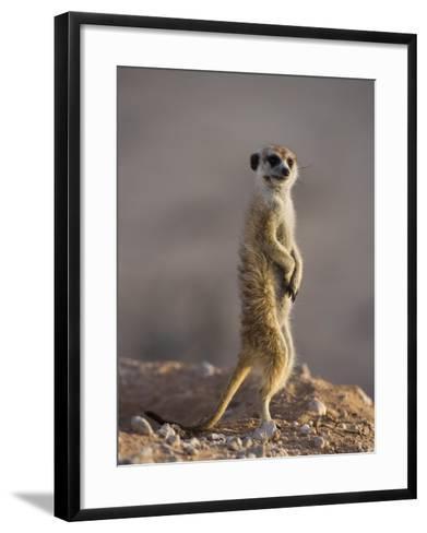 Meerkat Sentinel (Suricatta Suricata), Kgalagadi Transfrontier Park, Northern Cape, South Africa-Ann & Steve Toon-Framed Art Print