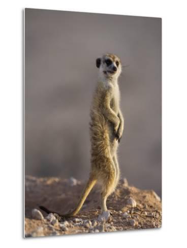 Meerkat Sentinel (Suricatta Suricata), Kgalagadi Transfrontier Park, Northern Cape, South Africa-Ann & Steve Toon-Metal Print
