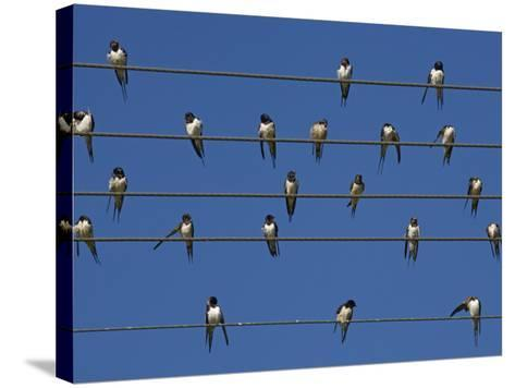 Barn (European) Swallow (Hirundo Rustica) on Wire, Overberg, Western Cape, South Africa, Africa-Ann & Steve Toon-Stretched Canvas Print