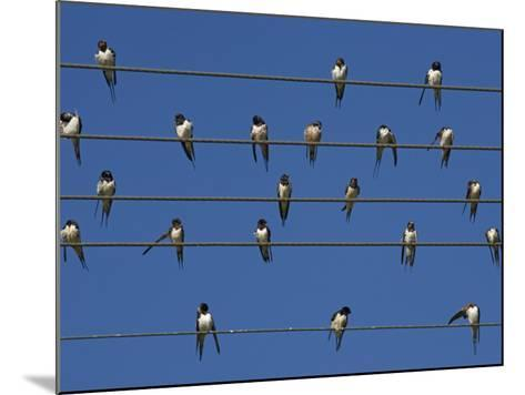Barn (European) Swallow (Hirundo Rustica) on Wire, Overberg, Western Cape, South Africa, Africa-Ann & Steve Toon-Mounted Photographic Print