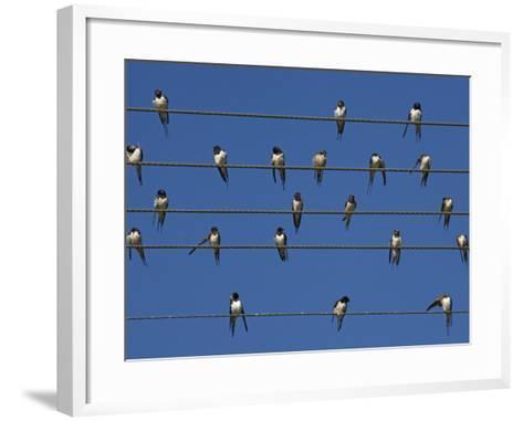 Barn (European) Swallow (Hirundo Rustica) on Wire, Overberg, Western Cape, South Africa, Africa-Ann & Steve Toon-Framed Art Print