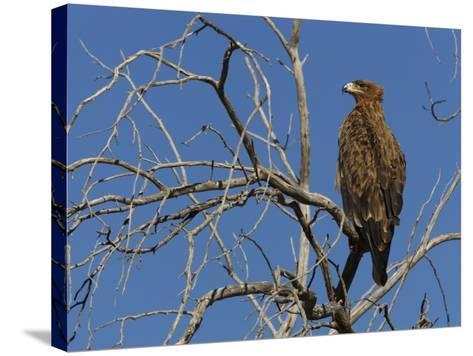 Tawny Eagle (Aquila Rapax), Kgalagadi Transfrontier Park, Northern Cape, South Africa, Africa-Ann & Steve Toon-Stretched Canvas Print