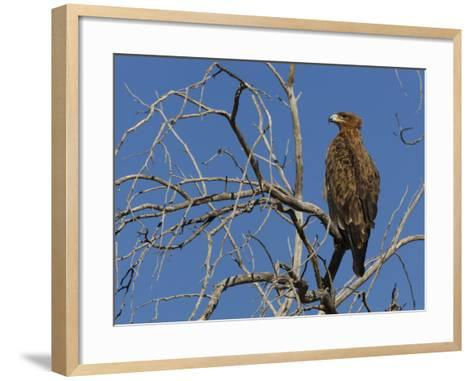 Tawny Eagle (Aquila Rapax), Kgalagadi Transfrontier Park, Northern Cape, South Africa, Africa-Ann & Steve Toon-Framed Art Print