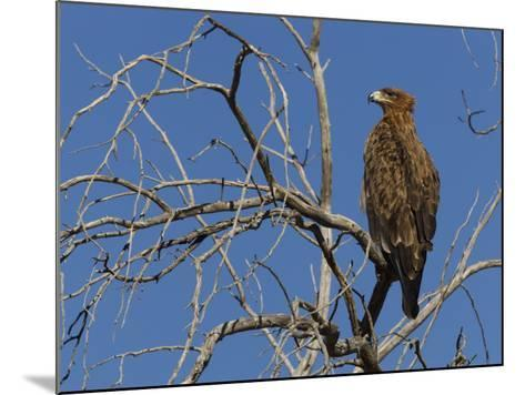 Tawny Eagle (Aquila Rapax), Kgalagadi Transfrontier Park, Northern Cape, South Africa, Africa-Ann & Steve Toon-Mounted Photographic Print