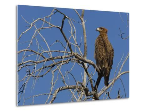 Tawny Eagle (Aquila Rapax), Kgalagadi Transfrontier Park, Northern Cape, South Africa, Africa-Ann & Steve Toon-Metal Print