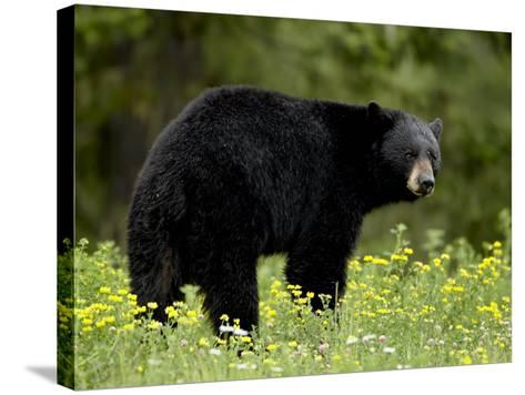 Black Bear (Ursus Americanus), Manning Provincial Park, British Columbia, Canada, North America-James Hager-Stretched Canvas Print