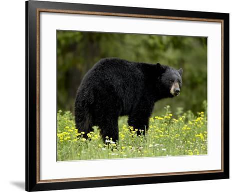 Black Bear (Ursus Americanus), Manning Provincial Park, British Columbia, Canada, North America-James Hager-Framed Art Print