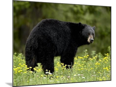 Black Bear (Ursus Americanus), Manning Provincial Park, British Columbia, Canada, North America-James Hager-Mounted Photographic Print