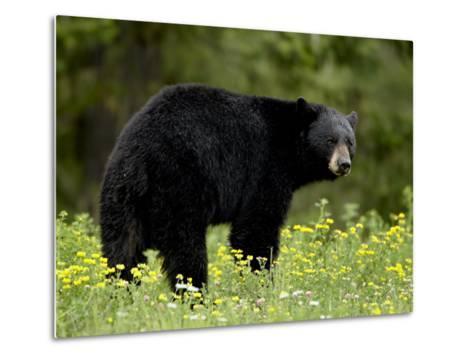 Black Bear (Ursus Americanus), Manning Provincial Park, British Columbia, Canada, North America-James Hager-Metal Print