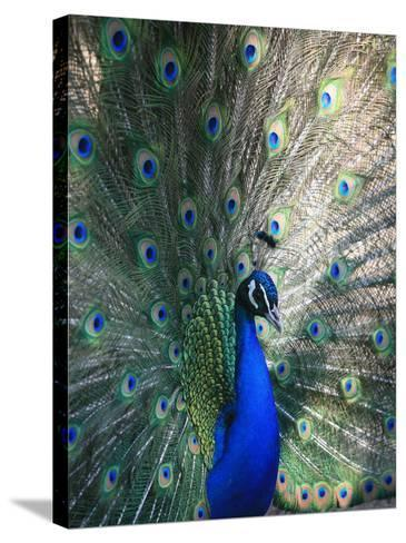 Peacock, Thessalonica, Macedonia, Greece, Europe-Godong-Stretched Canvas Print