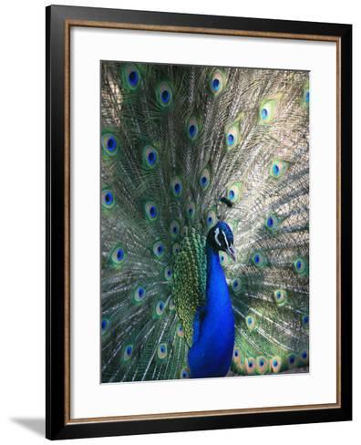 Peacock, Thessalonica, Macedonia, Greece, Europe-Godong-Framed Art Print
