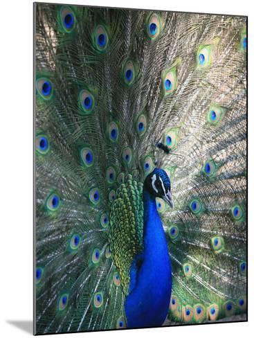 Peacock, Thessalonica, Macedonia, Greece, Europe-Godong-Mounted Photographic Print