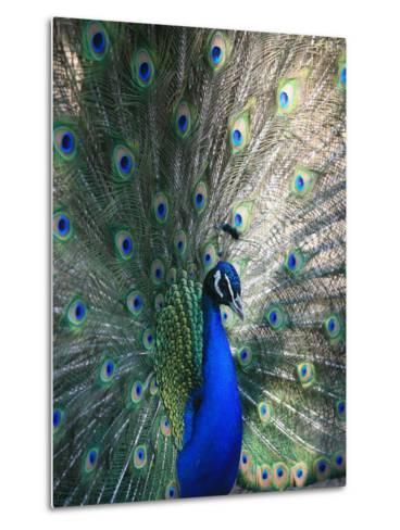 Peacock, Thessalonica, Macedonia, Greece, Europe-Godong-Metal Print