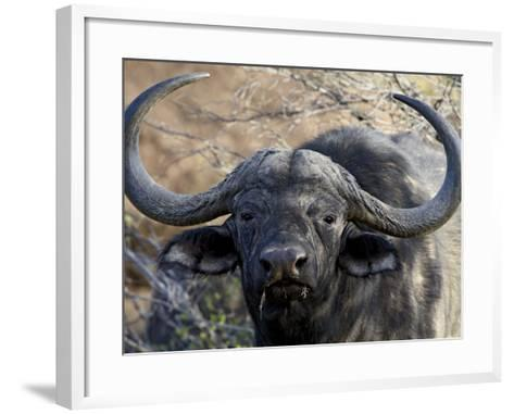 Cape Buffalo or African Buffalo (Syncerus Caffer), Mountain Zebra National Park, South Africa-James Hager-Framed Art Print
