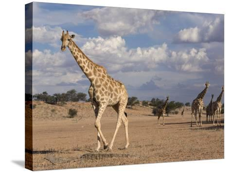 Giraffe (Giraffa Camelopardalis), Kgalagadi Transfrontier Park, Northern Cape, South Africa, Africa-Ann & Steve Toon-Stretched Canvas Print