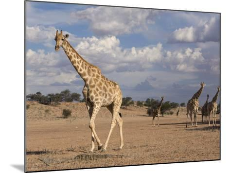 Giraffe (Giraffa Camelopardalis), Kgalagadi Transfrontier Park, Northern Cape, South Africa, Africa-Ann & Steve Toon-Mounted Photographic Print