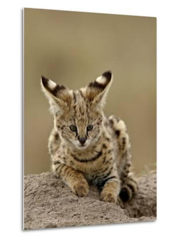 Serval (Felis Serval) Cub on Termite Mound, Masai Mara National Reserve, Kenya, East Africa-James Hager-Metal Print