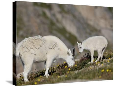 Mountain Goat (Oreamnos Americanus) Nanny and Billy, Mount Evans, Colorado, Usa-James Hager-Stretched Canvas Print