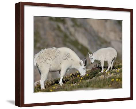 Mountain Goat (Oreamnos Americanus) Nanny and Billy, Mount Evans, Colorado, Usa-James Hager-Framed Art Print