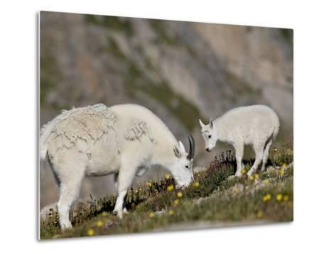 Mountain Goat (Oreamnos Americanus) Nanny and Billy, Mount Evans, Colorado, Usa-James Hager-Metal Print
