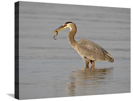 Great Blue Heron (Ardea Herodias) with a Fish, Esquimalt Lagoon, Saanich, British Columbia, Canada-James Hager-Stretched Canvas Print