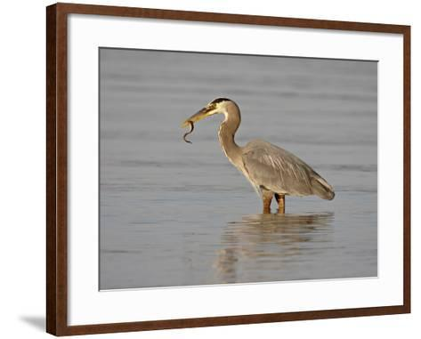 Great Blue Heron (Ardea Herodias) with a Fish, Esquimalt Lagoon, Saanich, British Columbia, Canada-James Hager-Framed Art Print