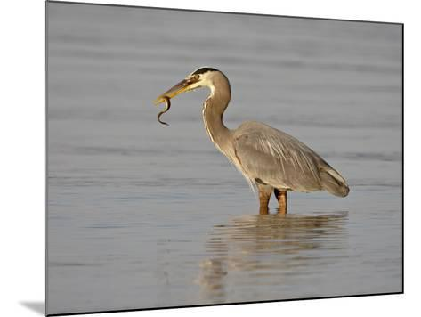Great Blue Heron (Ardea Herodias) with a Fish, Esquimalt Lagoon, Saanich, British Columbia, Canada-James Hager-Mounted Photographic Print