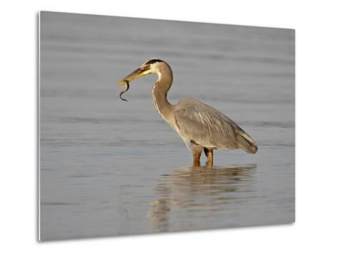 Great Blue Heron (Ardea Herodias) with a Fish, Esquimalt Lagoon, Saanich, British Columbia, Canada-James Hager-Metal Print