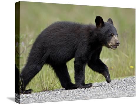 Black Bear (Ursus Americanus) Cub Crossing the Road, Alaska Highway, British Columbia, Canada-James Hager-Stretched Canvas Print
