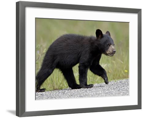 Black Bear (Ursus Americanus) Cub Crossing the Road, Alaska Highway, British Columbia, Canada-James Hager-Framed Art Print