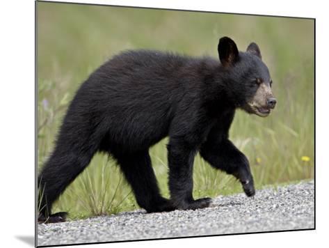 Black Bear (Ursus Americanus) Cub Crossing the Road, Alaska Highway, British Columbia, Canada-James Hager-Mounted Photographic Print