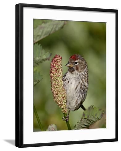 Female Common Redpoll (Carduelis Flammea), Archangel Pass, Alaska, United States of America, North -James Hager-Framed Art Print