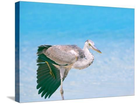 Blue Heron, Maldives, Indian Ocean, Asia-Sakis Papadopoulos-Stretched Canvas Print
