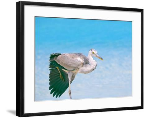 Blue Heron, Maldives, Indian Ocean, Asia-Sakis Papadopoulos-Framed Art Print
