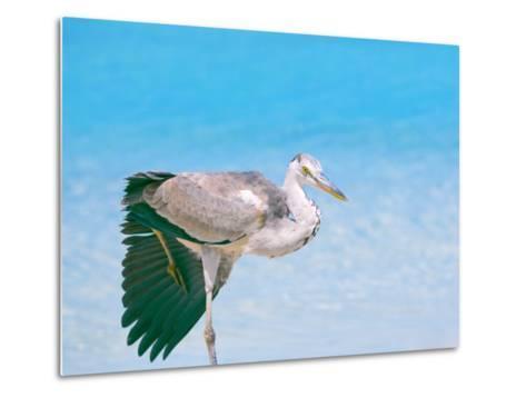 Blue Heron, Maldives, Indian Ocean, Asia-Sakis Papadopoulos-Metal Print