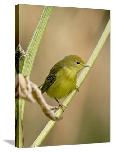 Yellow Warbler (Dendroica Petechia), Near Palmer, Alaska, United States of America, North America-James Hager-Stretched Canvas Print