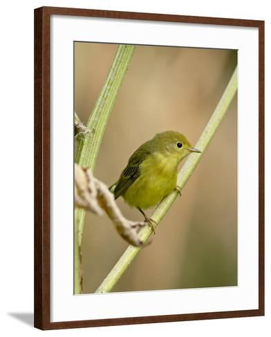 Yellow Warbler (Dendroica Petechia), Near Palmer, Alaska, United States of America, North America-James Hager-Framed Art Print