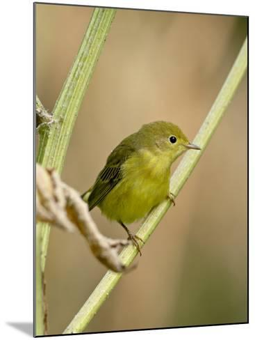 Yellow Warbler (Dendroica Petechia), Near Palmer, Alaska, United States of America, North America-James Hager-Mounted Photographic Print