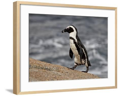 African Penguin (Spheniscus Demersus), Simon's Town, South Africa, Africa-James Hager-Framed Art Print