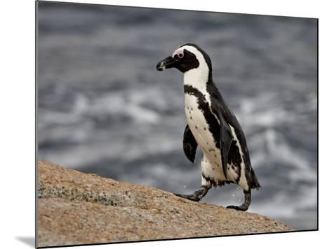 African Penguin (Spheniscus Demersus), Simon's Town, South Africa, Africa-James Hager-Mounted Photographic Print