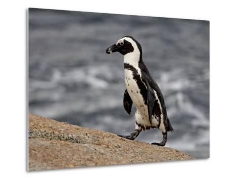 African Penguin (Spheniscus Demersus), Simon's Town, South Africa, Africa-James Hager-Metal Print