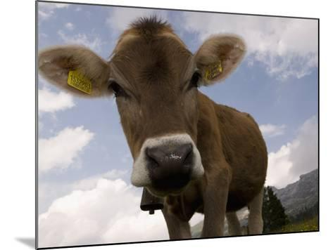 Cow Grazing, Dolomites, South Tyrol, Italy, Europe-Carlo Morucchio-Mounted Photographic Print