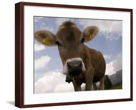 Cow Grazing, Dolomites, South Tyrol, Italy, Europe-Carlo Morucchio-Framed Art Print