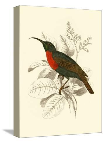 Jardine Hummingbird III-Sir William Jardine-Stretched Canvas Print