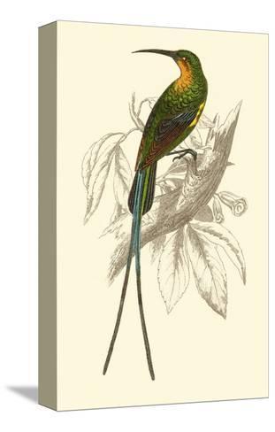 Jardine Hummingbird V-Sir William Jardine-Stretched Canvas Print